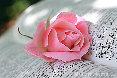 lovely pink rose closeup royalty free stock images image clipart of a rose in black and white clipart of a rose png