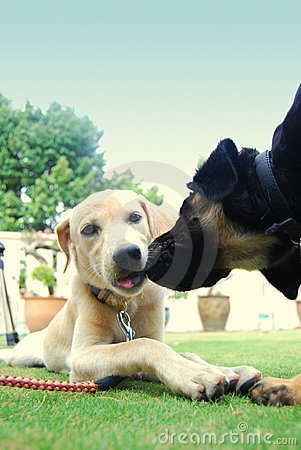 Free Lovely Puppies Stock Photography - 6117342