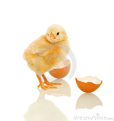 Lovely spring chicken with egg shell - isolated