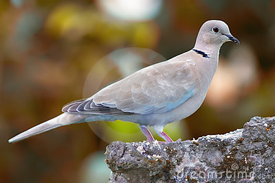 Lovely turtle dove
