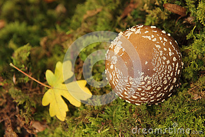 Lovely vivid red mushroom in moss with fallen leaf