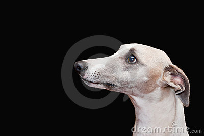 Lovely whippet isolated on black background