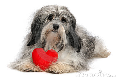 Lover Valentine Havanese boy dog