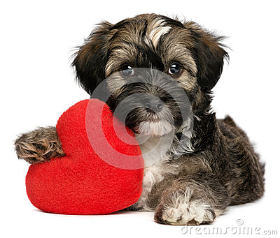 Lover Valentine Havanese male puppy dog