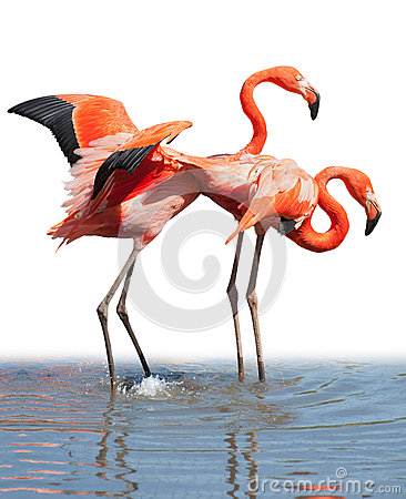Loving flamingo couple