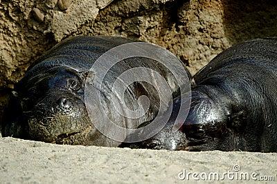 Loving Hippos