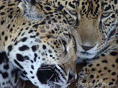 Loving Jaguar Couple
