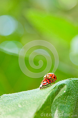 Loving ladybugs closeup