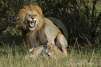Loving lions couple in Kenya