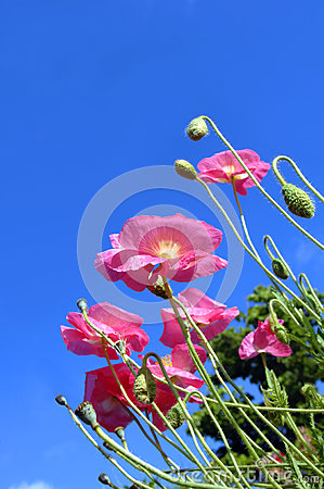 Low Angle of Poppies
