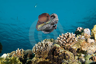 Low angle view of A Reef octopus (Octopus cyaneus)