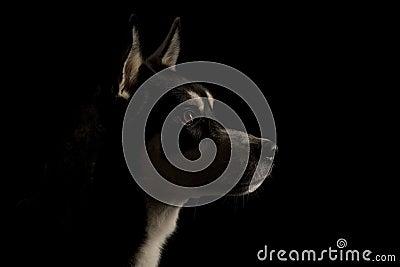 Low Key Head Shot Husky