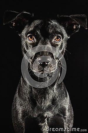 Low key studio portrait of a black labrador mix do