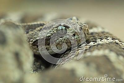 Lower California rattlesnake