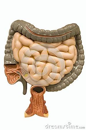 Lower digestive track