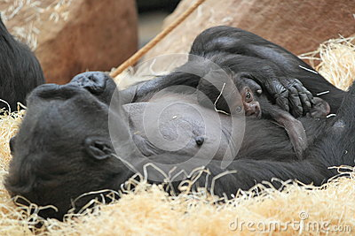 Lowland gorilla birth