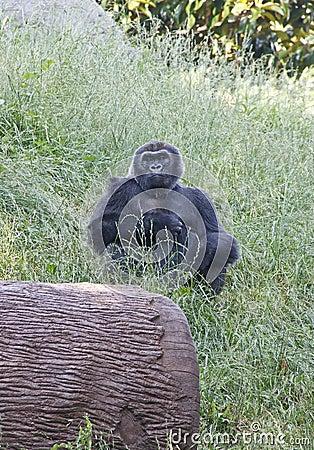 Lowland Gorilla Looking at Camera