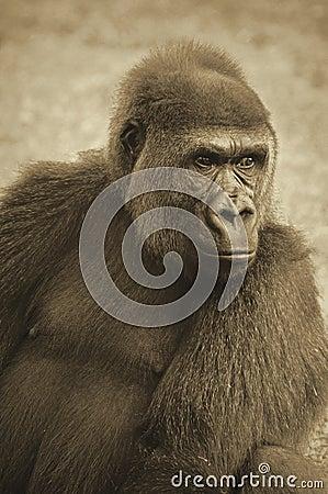 Lowland gorilla in sepia tones