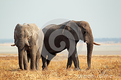 Éléphants africains sur les plaines ouvertes