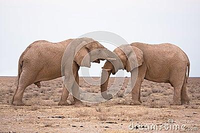 Éléphants dans l amour