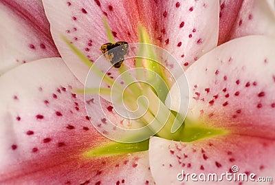Lírio cor-de-rosa e branco