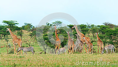 Lösa giraff i savannet