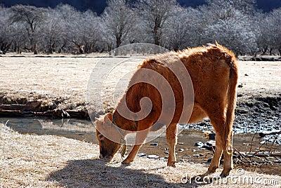 Lässt Kuh weiden