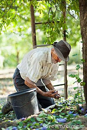 Älterer Landwirt, der Pflaumen erntet