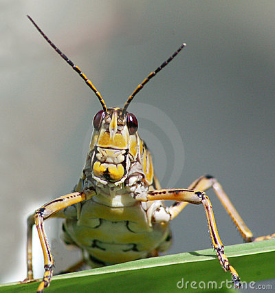 Free Lubber Grasshopper Face Up Close Stock Photos - 12722313