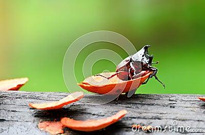 Lucanus cervus (stag beetle)