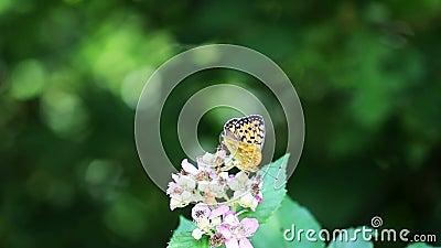 Lucha de la mariposa almacen de metraje de vídeo