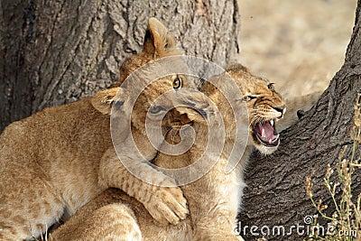 Lucha del juego de los cachorros de león, Serengeti