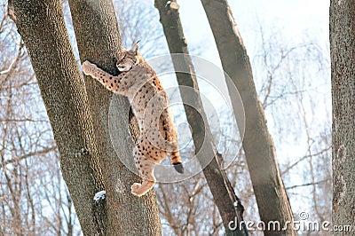 Luchs auf dem Baum