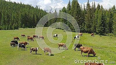 Lucht - schilderachtig alpien landschap in de lente met koeien op weiland mooie mening stock video