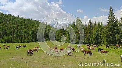 Lucht - schilderachtig alpien landschap in de lente met koeien op weiland mooie mening stock footage