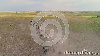 Luchtfoto van vee dat op droog stoffig veld rijdt stock video