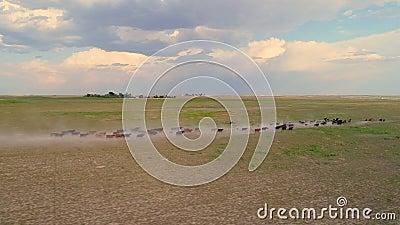 Luchtfoto van vee dat op droog stoffig veld rijdt stock footage
