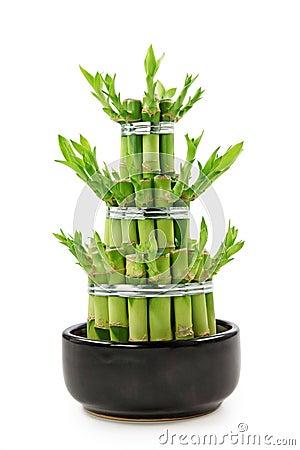 Luck Bamboo