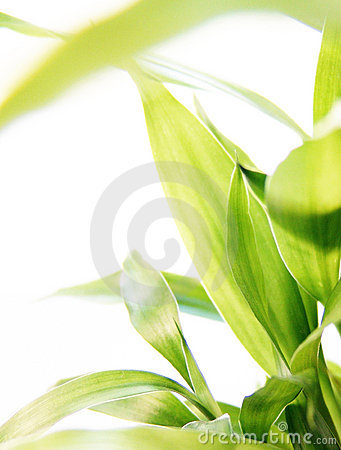 Free Lucky Bamboo Stock Image - 1463101