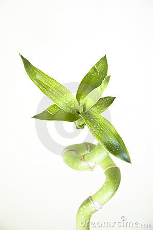 Free Lucky Bamboo Stock Image - 14646181