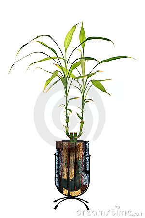 Lucky Bamboo Royalty Free Stock Photos - Image: 19319258