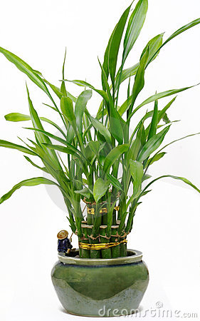 Free Lucky Bamboo House Plant Royalty Free Stock Photo - 618265