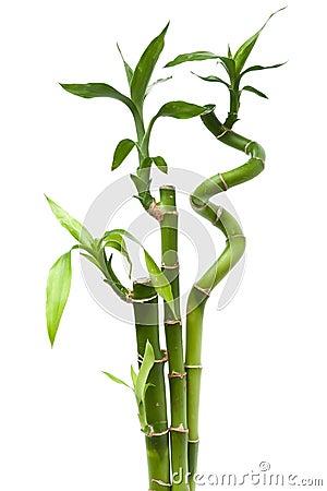 Plantas De Bambu. Plantas Bambu Flor Cerca Csp. Bamboo Is Easily ...