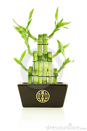 Lucky bamboo in pot