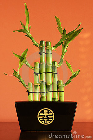 Lucky bamboo on the shelf