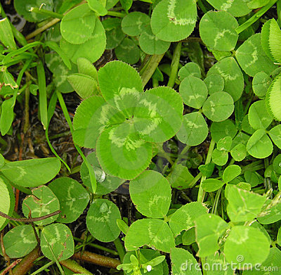 Free Lucky Four Leaf Clover Stock Photo - 2397020