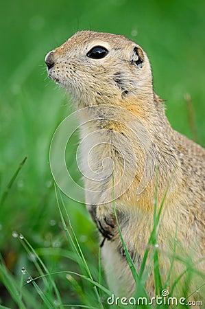 黑被盯梢的草原土拨鼠(草原犬鼠ludovicianus)