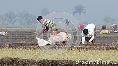 Ludzie roślina ryż przy ryżu polem w Jessore, Bangladesz zbiory wideo