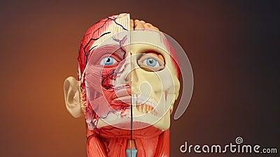Ludzka anatomia - HD zbiory