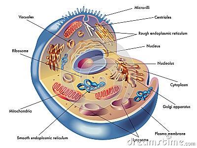 Ludzka komórka